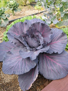 Red cabbage by I, KENPEI